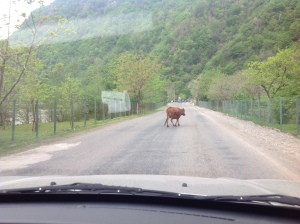 Cows have the right of way.
