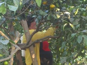 Meri picks oranges from the family grove.