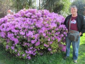 Giant Azalea bush.