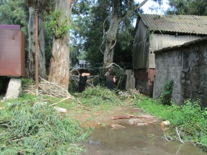 Clearing the dirt road in front of our house after the storm which harmed several enormous eucalyptus trees.