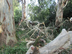 Eucalyptus trees devastated by a storm in front of our house and damaging a neighbor's property.